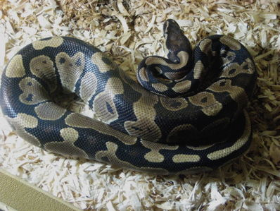 A Ball Python, perhaps the gentlest of all exotic snakes!