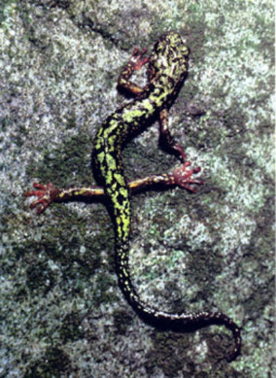Falling Creek Green Salamander