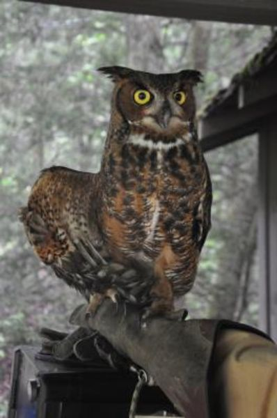 Falling Creek Owl
